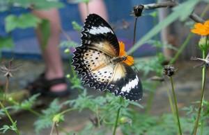 In de Butterfly Garden kun je genieten van vele prachtige inheemse vlindersoorten.