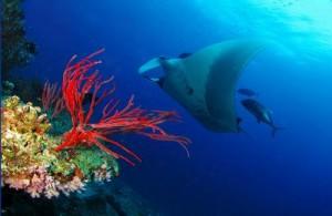 Als je een beetje geluk hebt kom je als duiker in de wateren bij Koh Tachai de mantarog tegen.