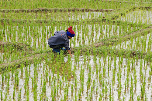 rijstcultuur in thailand
